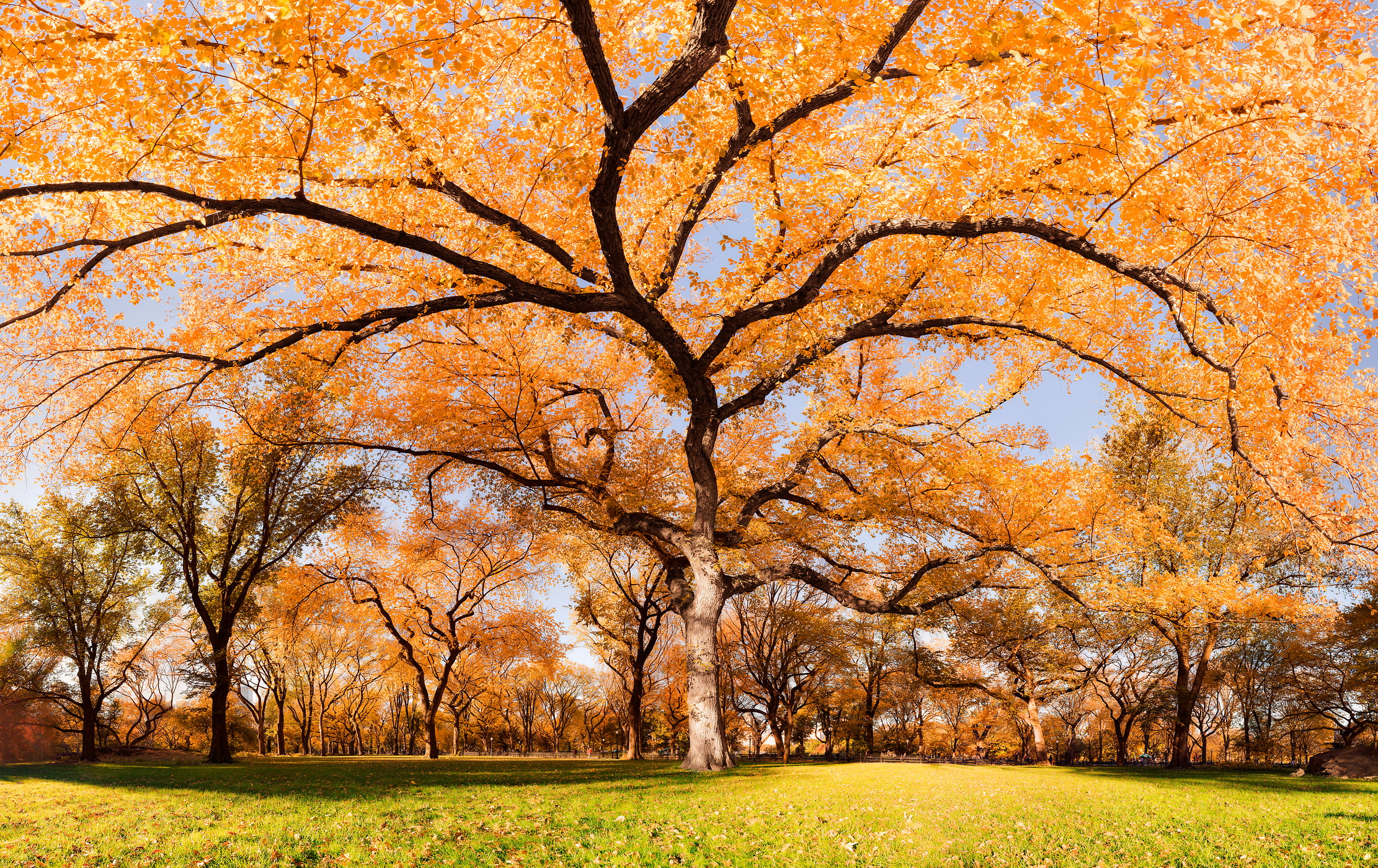 2,139 megapixels! A very high resolution, HD large-format VAST photo print of autumn foliage on an American Elm Tree on The Mall in Central Park, NYC; created by Dan Piech