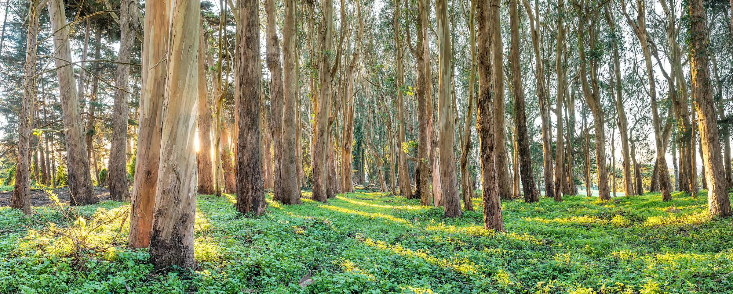 A very high resolution, large-format VAST photo print of eucalyptus trees in the Presidio of San Francisco; fine art nature photo created by Justin Katz in California