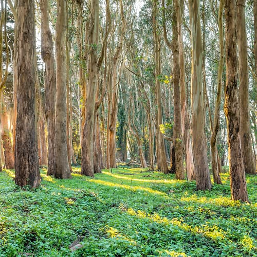 "Photo Release: ""Presidio Eucalyptus Tunnel Sunrise"" by Justin Katz"
