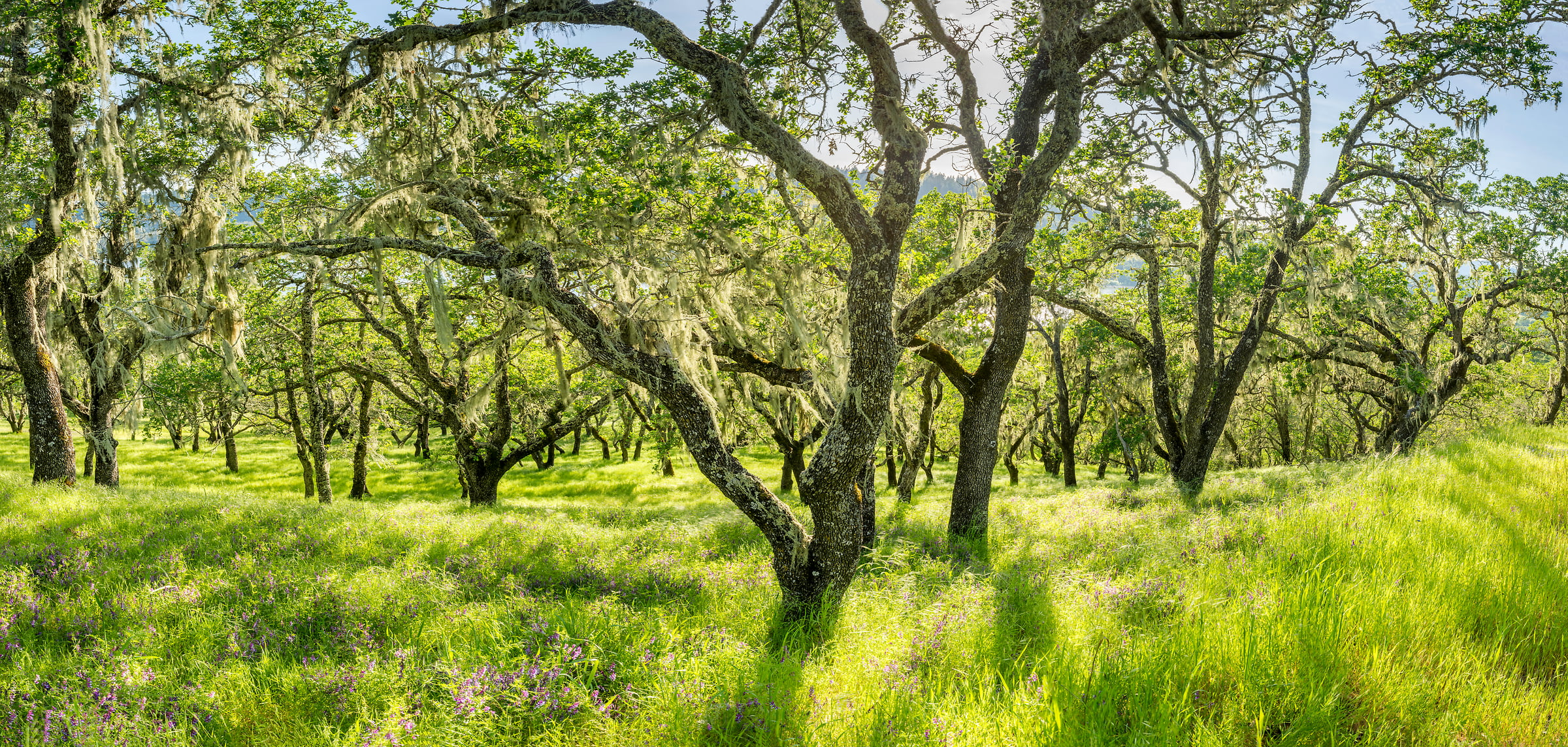 286 megapixels! A very high resolution, large-format VAST photo print of trees in Napa Valley; fine art nature photo created by Justin Katz in Lake Hennessey, Napa Valley, California