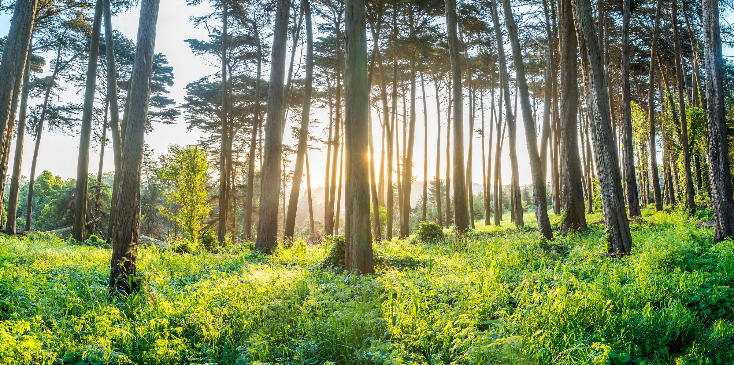 285 megapixels! A very high resolution, large-format VAST photo print of trees in the Presidio of San Francisco at sunrise; fine art nature photo created by Justin Katz in California
