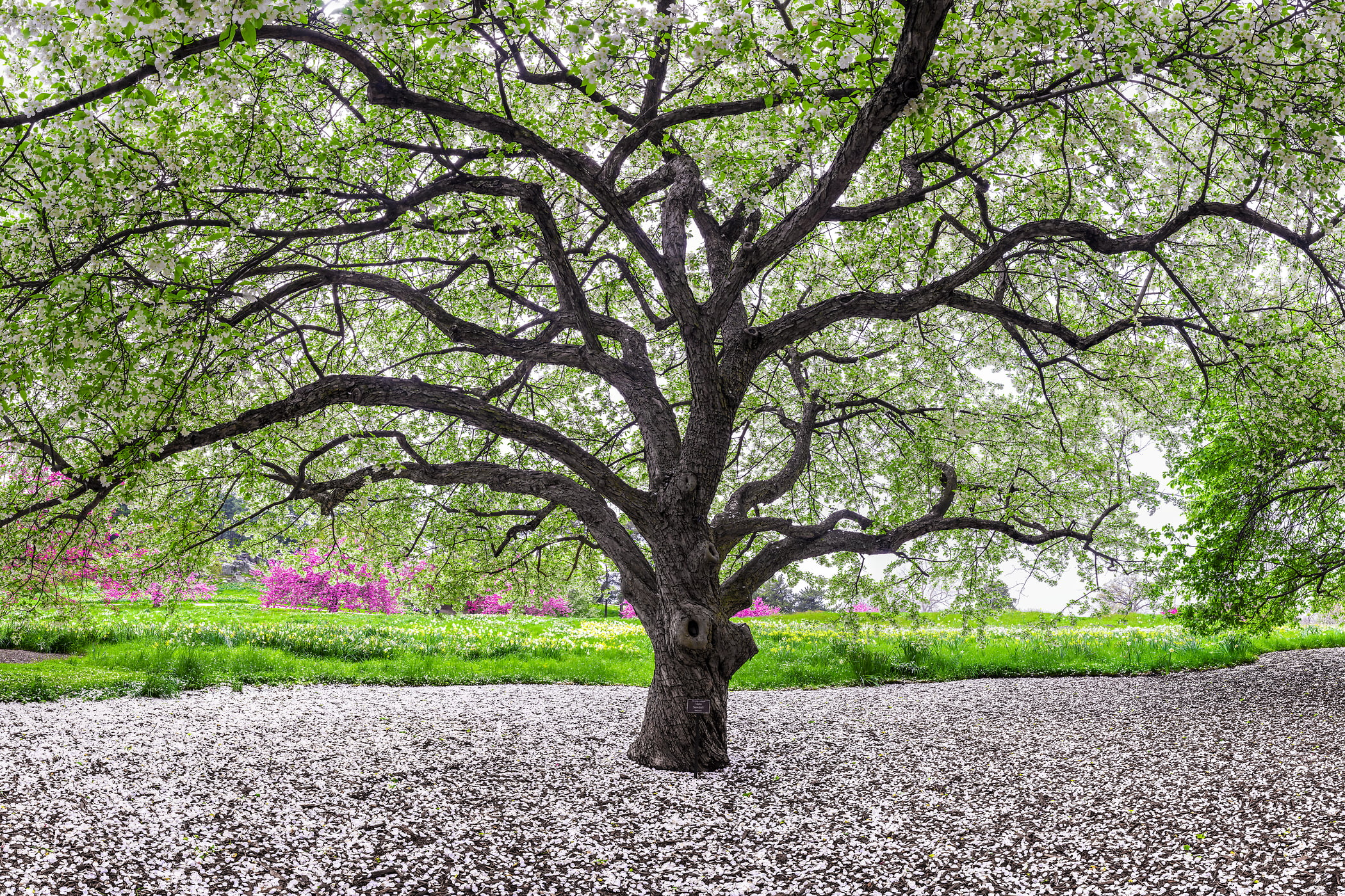 A very high resolution, large-format VAST photo of a crabapple tree blooming in spring with blossom petals on the ground; fine art photograph created by Dan Piech in the New York Botanical Garden, New York City