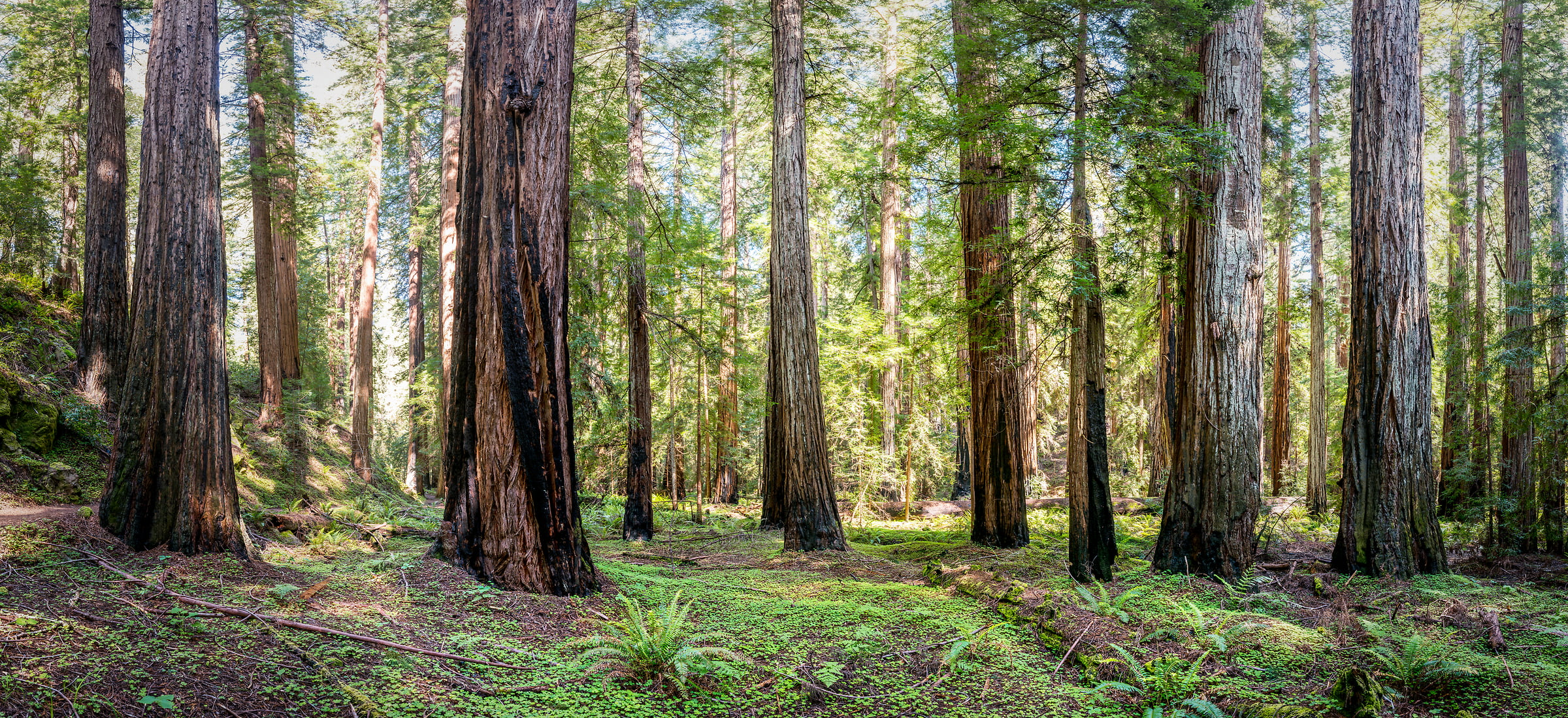632 megapixels! A very high resolution, large-format VAST photo of a redwood forest; fine art nature photo created by Justin Katz in Montgomery Woods State Reserve, California
