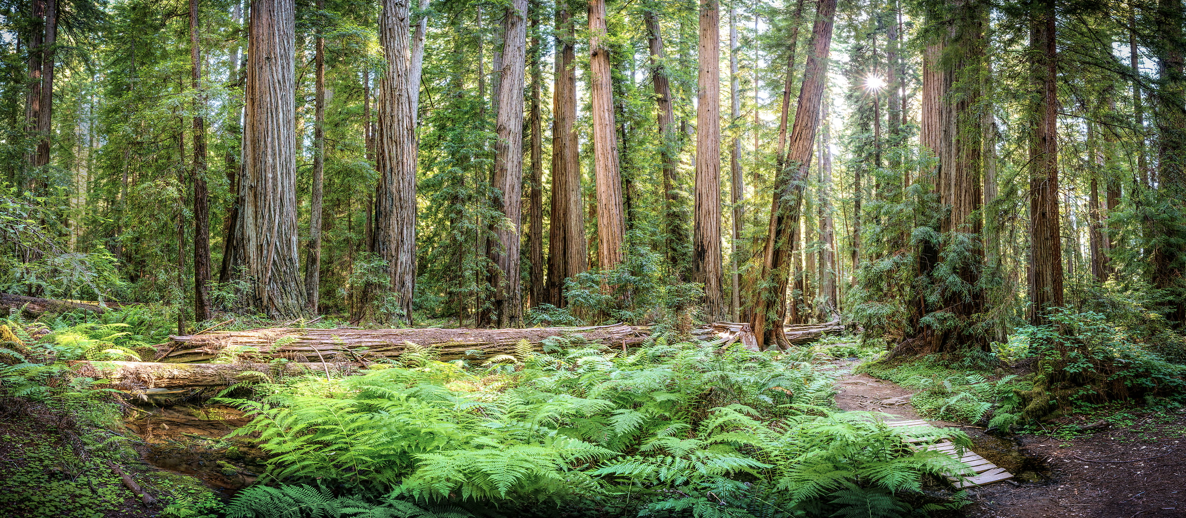 536 megapixels! A very high resolution, large-format VAST photo of a redwood forest with ferns and a creek; fine art nature photo created by Justin Katz in Montgomery Woods State Reserve, California
