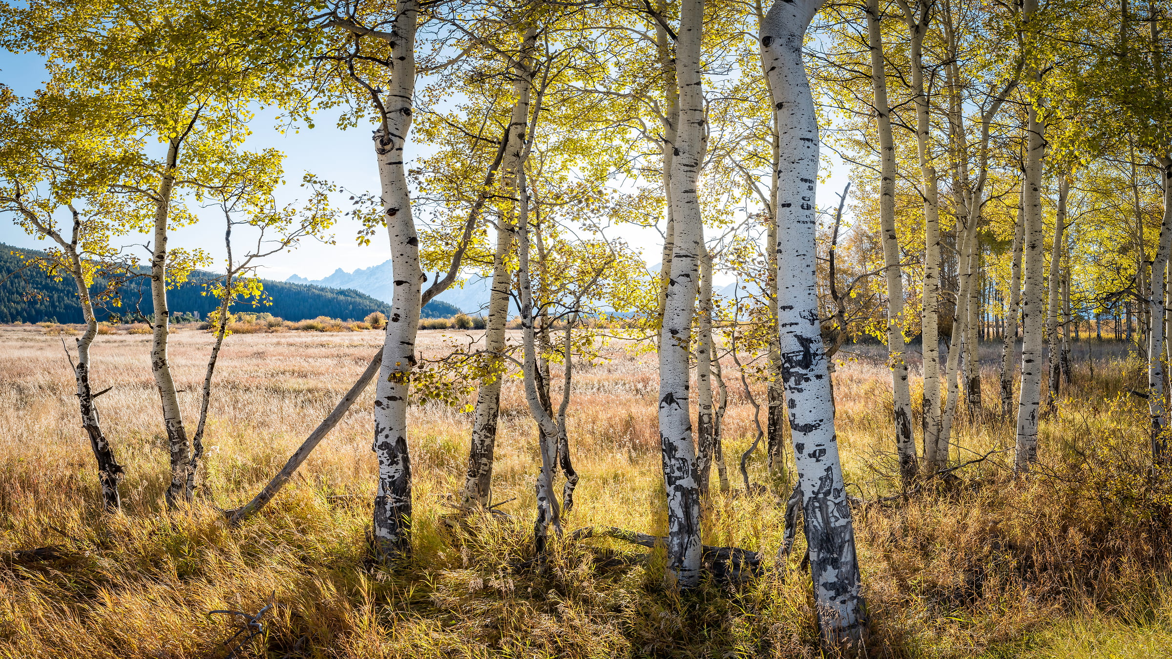 303 megapixels! A very high resolution nature wallpaper of a grove of aspen trees; VAST photo of nature created by Justin Katz in Grand Teton National Park, Wyoming