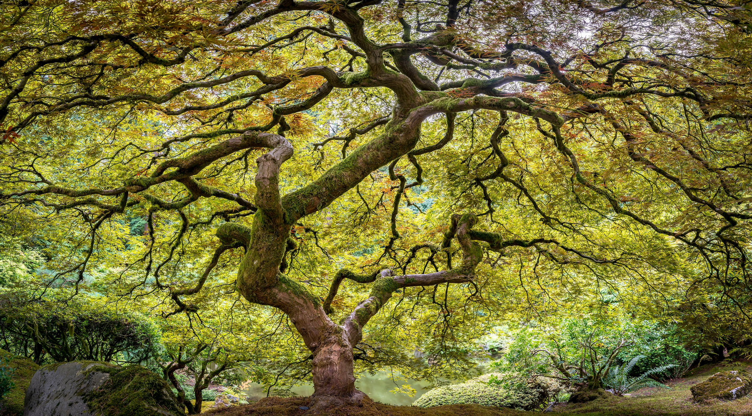 438 megapixels! A very high resolution, large-format VAST photo print of a Japanese maple tree; nature photo created by Justin Katz in the Portland Japanese Garden in Oregon