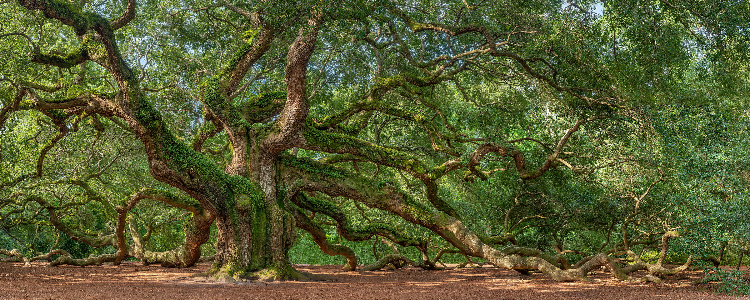 182 megapixels! A very high resolution, large-format VAST photo of a very big Oak tree; nature photograph created by Tim Lo Monaco in Angel Oak Park, Johns Island, South Carolina, USA