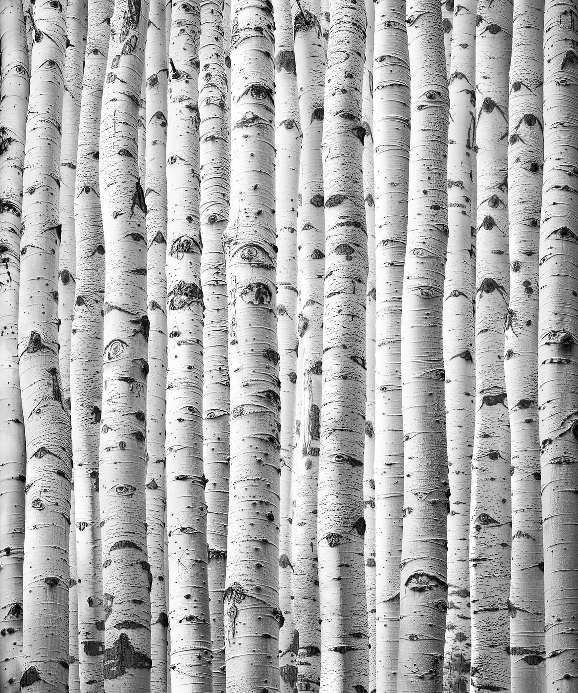 270 megapixels! A very high resolution, large-format VAST photo print of aspen trees; black and white abstract nature photograph created by Nick Pedersen