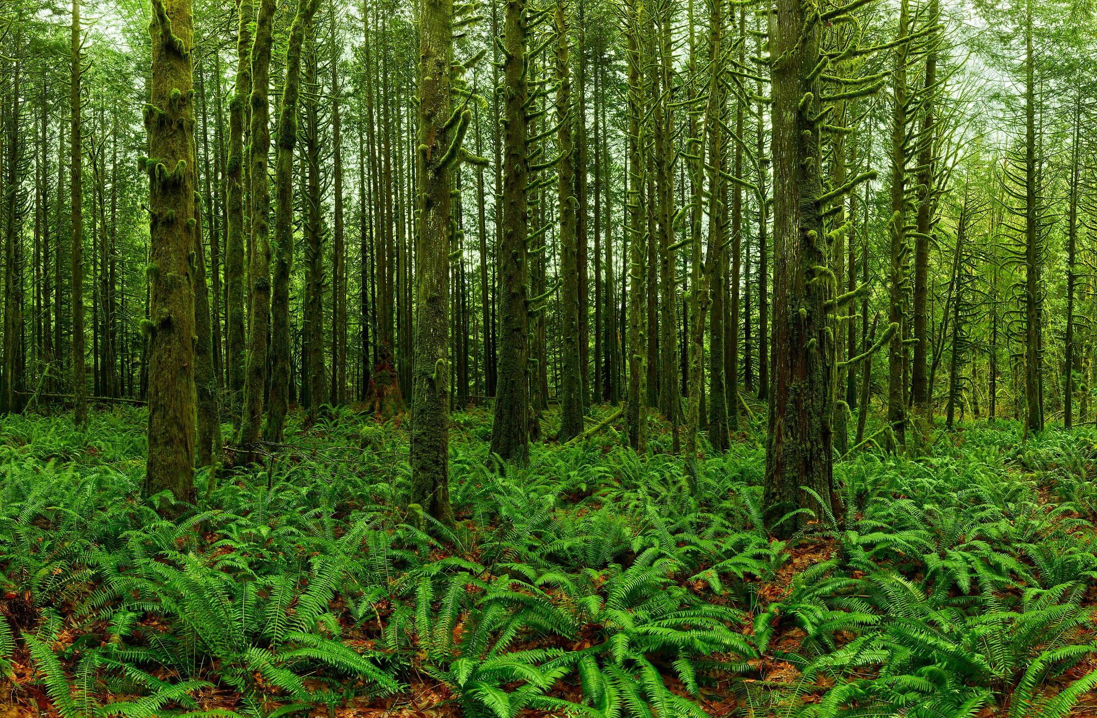 866 megapixels! A very high resolution, large-format VAST photo print of a forest with many ferns on the ground; nature photograph created by Chris Collacott