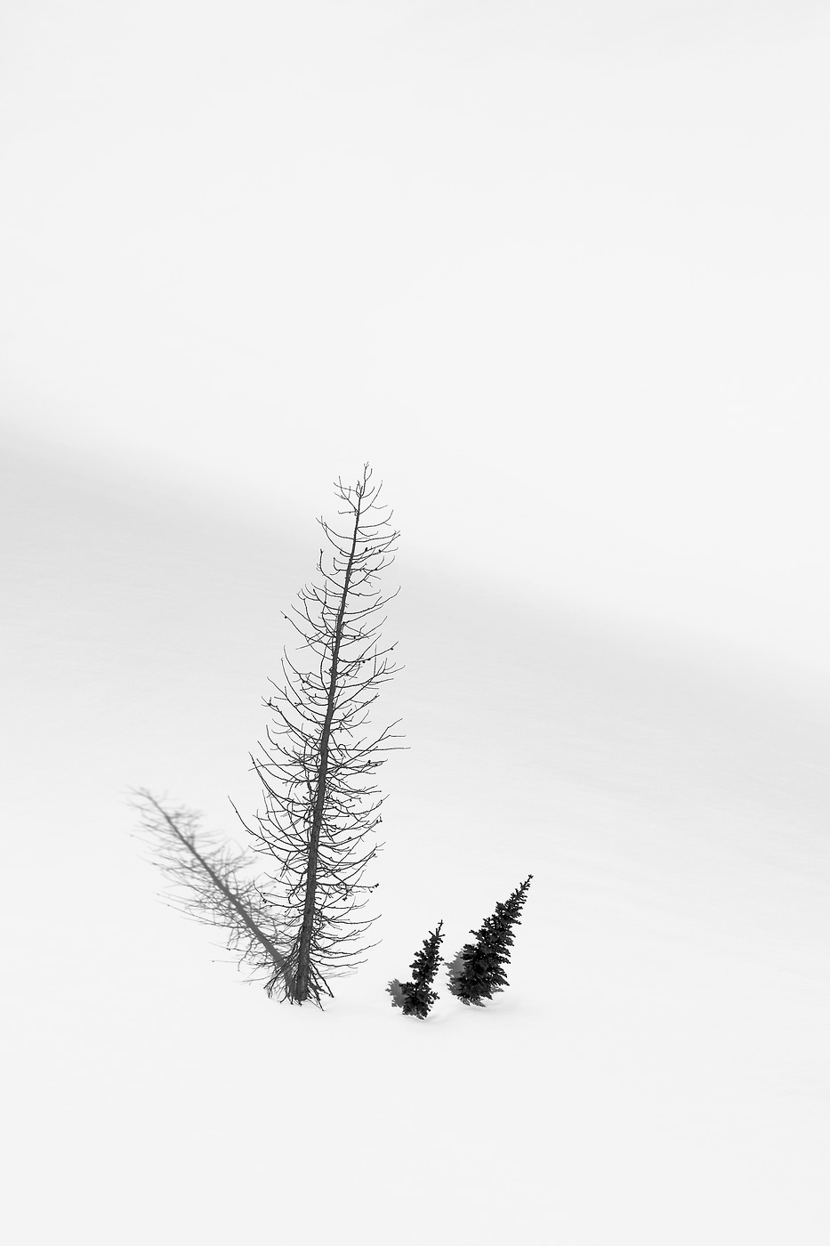 21 megapixels! A very high resolution, large-format VAST photo print of a lone set of trees in the snow on a mountain; photograph created by Scott Rinckenberger in Bannock Mountain, Glacier Peak Wilderness, Washington