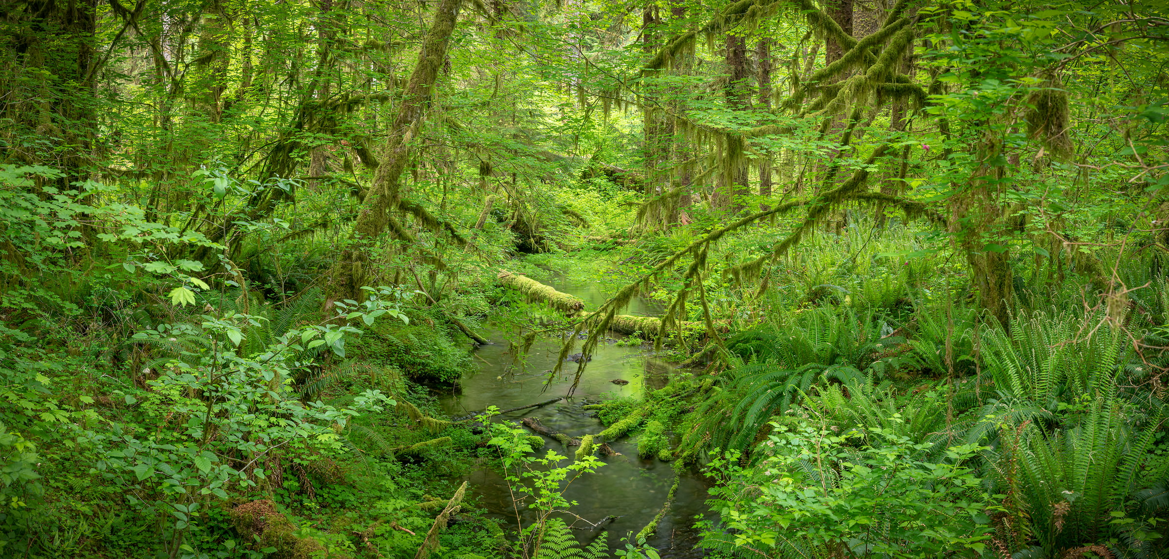 200 megapixels! A very high resolution, large-format VAST photo print of a lush, green rainforest; nature photograph created by Greg Probst in Hoh Rainforest, Olympic National Park, Washington