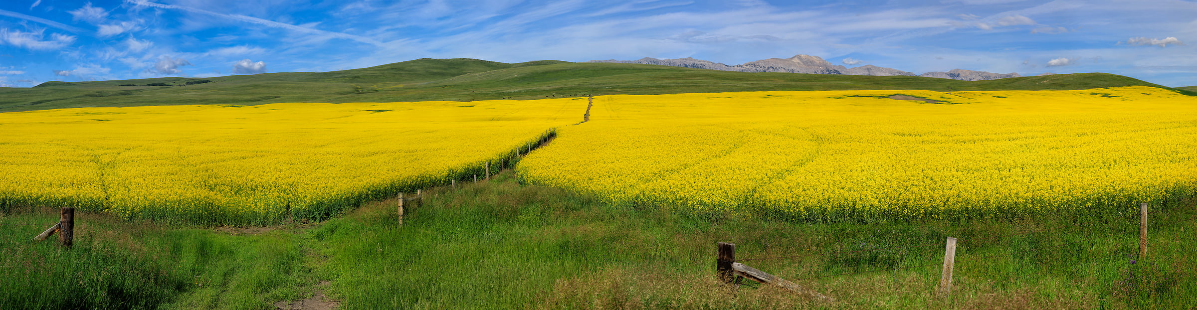 1,107 megapixels! A very high resolution, large-format VAST photo print of a canola field; landscape photograph created by Scott Dimond in Cowboy Trial, Alberta, Canada