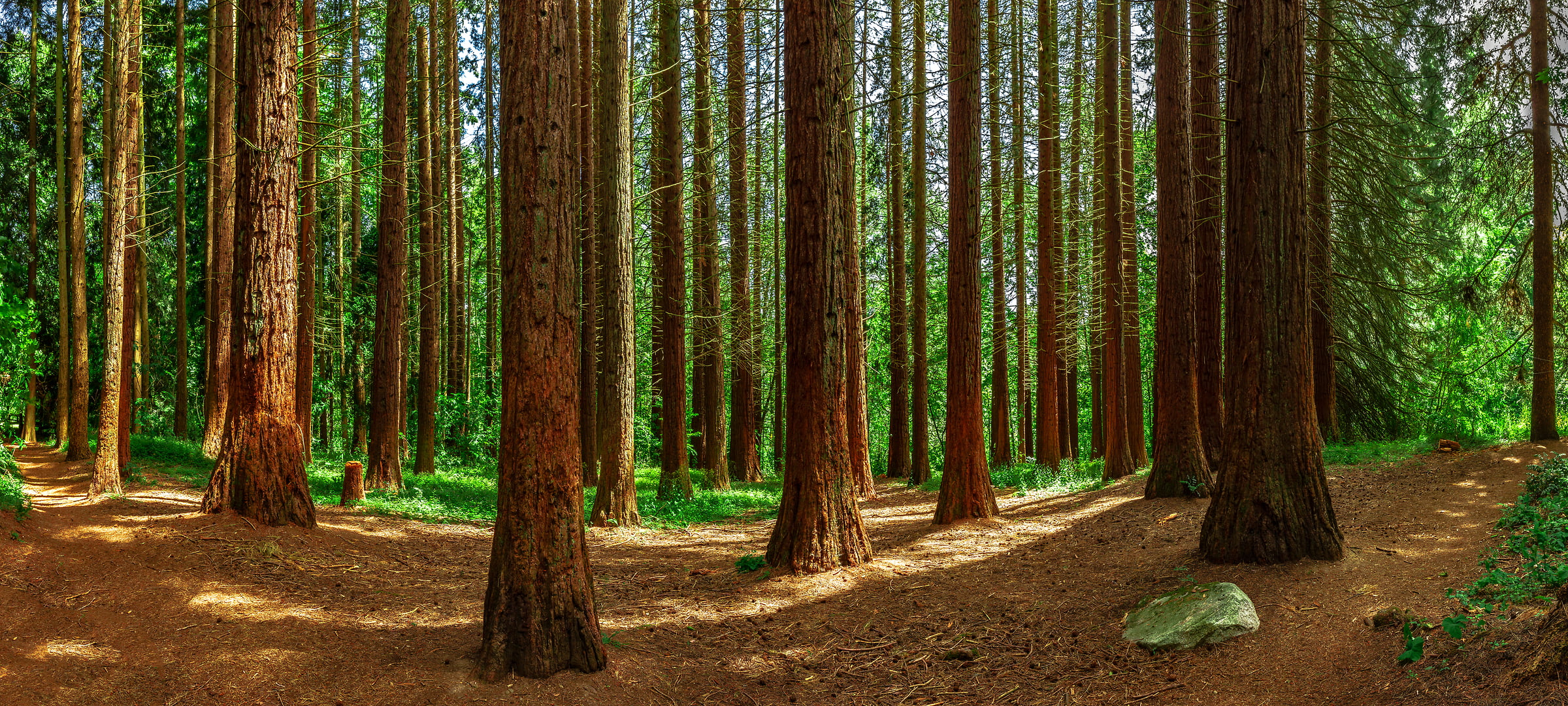 184 megapixels! A very high resolution, large-format VAST photo print of a pine tree forest; nature photograph created by Chris Collacott in Redwood Park, Surrey, British Columbia, Canada