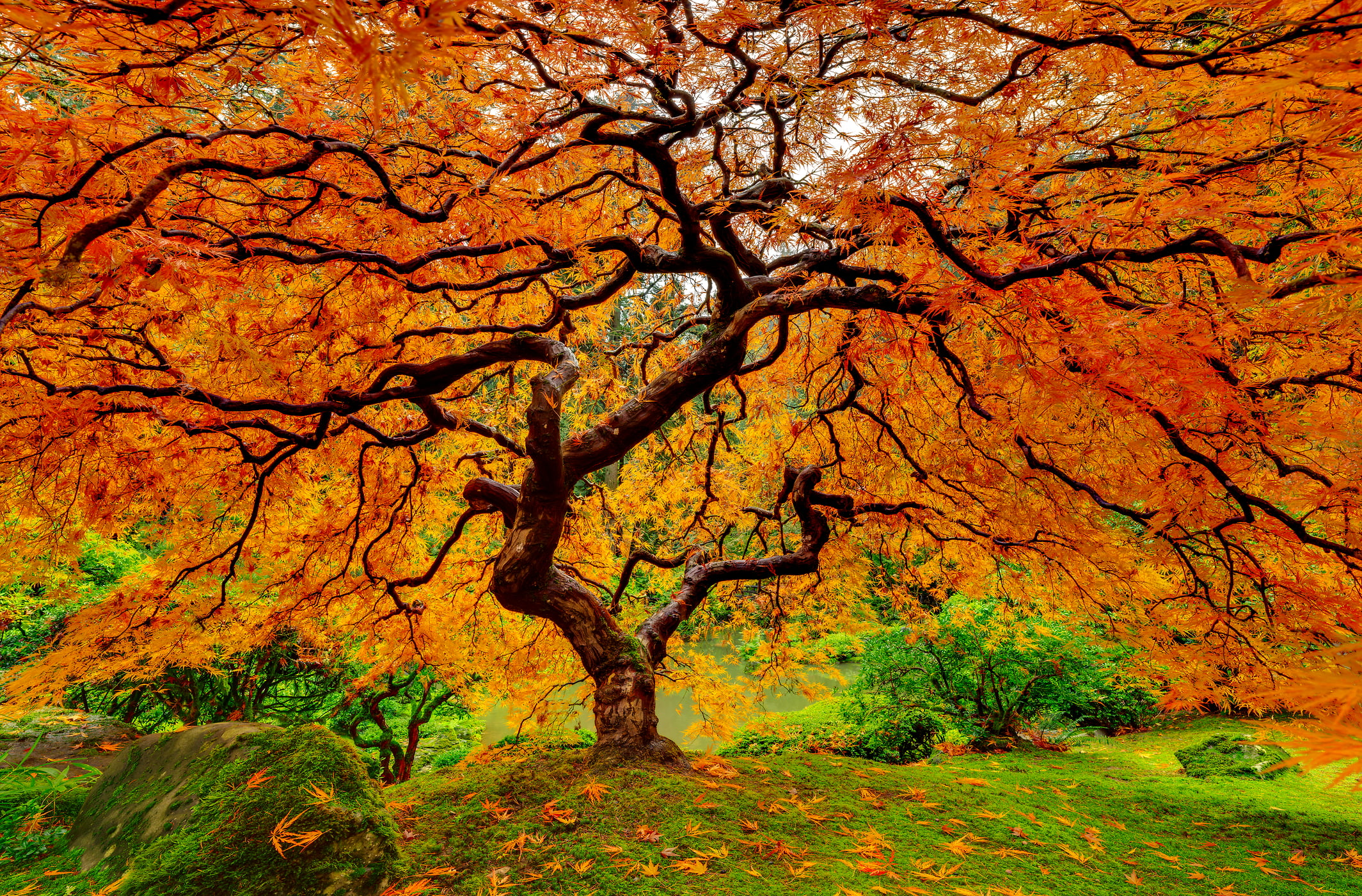 325 megapixels! A very high resolution, large-format VAST photo print of a beautiful tree with autumn foliage; nature photograph created by Chris Collacott in Portland, Oregon, USA