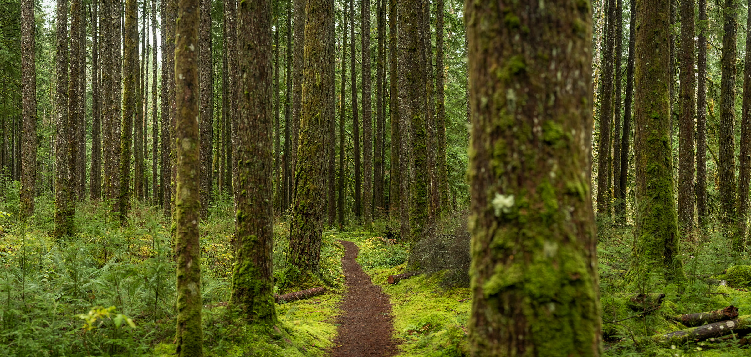 217 megapixels! A very high resolution, large-format VAST photo print of a pathway in a forest; nature photograph created by Scott Rinckenberger in CCC Trail, Middle Fork Trailhead, Middle Fork Snoqualmie River, Washington